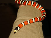 Arizona Mountain king snake handling