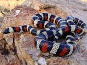 California Mountain Kingsnake - Photo by Matt Jeppson