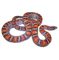 Mexican Kingsnakes - Lampropeltis Mexicana - Photo by Mark Kenderdine