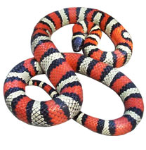 Ruthven's Kingsnake - Original Photograph by Mark Kenderdine aka. Crimson King