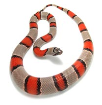 Grey Banded King Snake