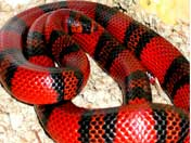 Milk snake coiled in Viv