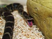 Blothched Kingsnake with mouth open