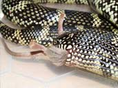 Blotched Kingsnake eating a mouse