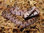 Virginia Locale Mole Kingsnake by Crimsonking