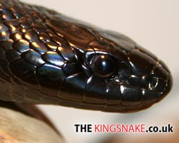 The King Snake.co.uk Desktop Wallpaper Download
