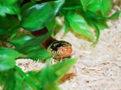 Striped splotched sinaloan milk snake hiding